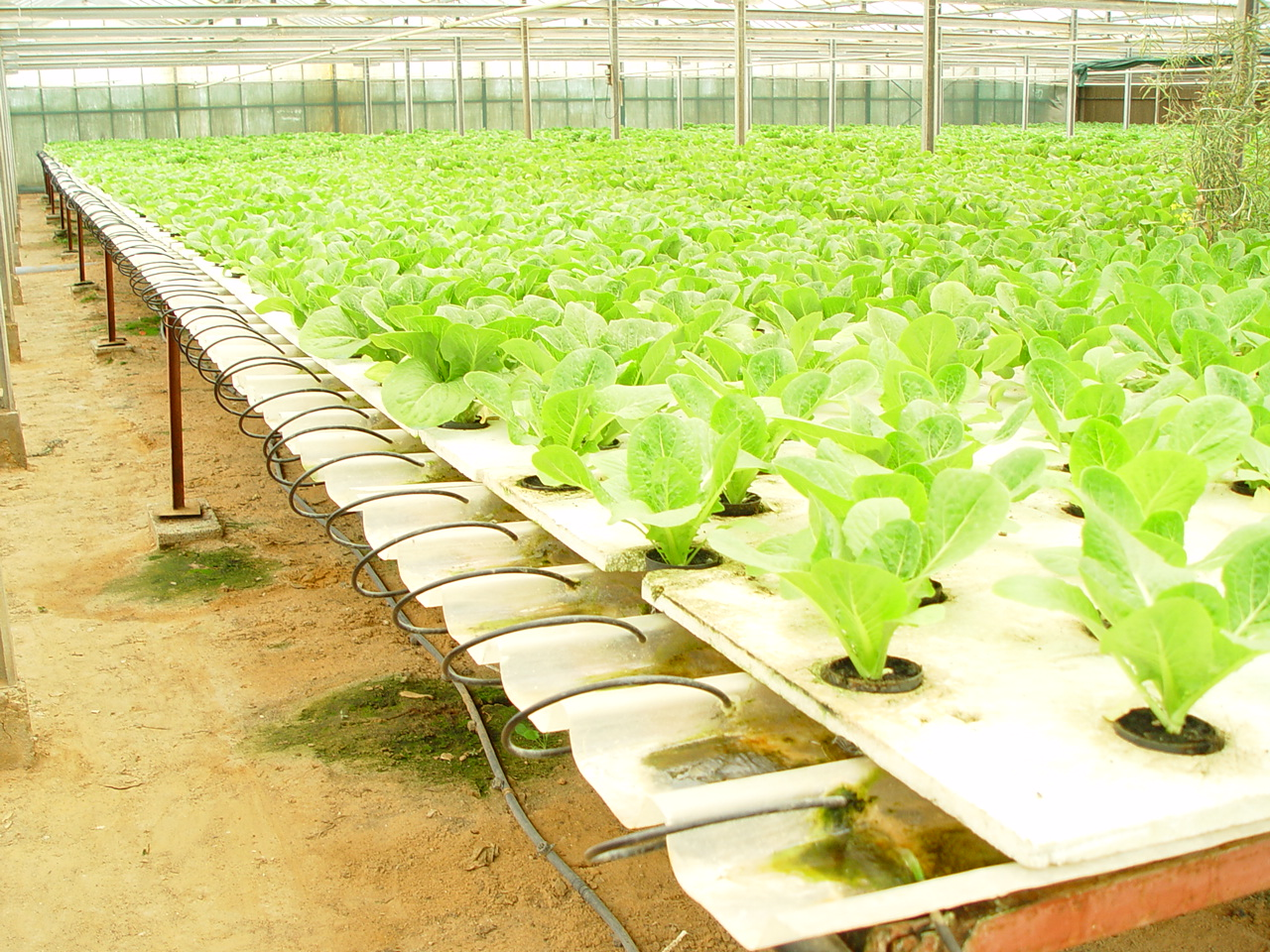 Hydroponic Lettuce Systems